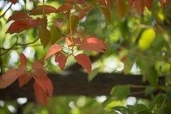 Brown und grünes Blatt von Zimtbaum camphora Baum Lizenzfreies Stockfoto