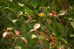 Brown und grünes Blatt von Zimtbaum camphora Baum Stockfoto