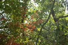 Brown und grünes Blatt von Zimtbaum camphora Baum Lizenzfreie Stockfotografie