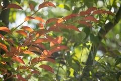 Brown und grünes Blatt von Zimtbaum camphora Baum Lizenzfreies Stockbild