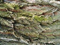 Brown und grauer Barkenahornbaum, viel Moos Stockfoto