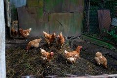 Brown und Rot chiken im Garten Stockbild