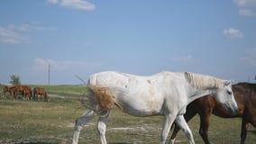 Brown und Schimmel geht am Bauernhof Pferde, die Endstück galoppieren und wedeln Gruppe Pferde auf dem Hintergrund Nahaufnahme stock video