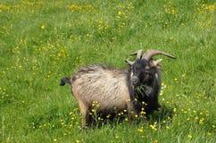 Brown und schwarze männliche Ziege, die Gras essen Lizenzfreies Stockbild