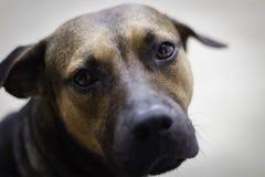 Brown und schwarzer Hund, die Kamera betrachten lizenzfreie stockfotografie