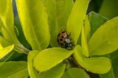Brown und schwarzer Marienkäfer auf einer Anlage Stockfotografie