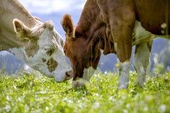 Brown und Weiß flecked Kühe in den europäischen Alpen Lizenzfreies Stockbild