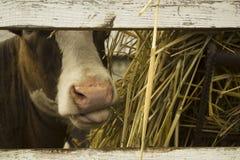 Brown und wei?e Kuh, die Heu in einem Bauernhof kauen Schauen durch einen alten Bretterzaun lizenzfreie stockbilder