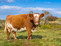 Brown und weiße Kuh-Nahaufnahme Stockfotografie