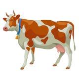 Brown und weiße Kuh, Seitenansicht, lokalisiert Stockfoto