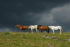 Brown und weiße Pferde Stockfotografie