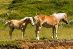 Brown und weiße Stute mit Fohlen Stockfotos