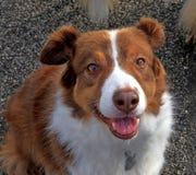 Brown und weißer border collie-Schäferhund Stockfotos
