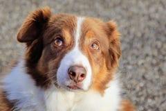 Brown und weißer border collie-Schäferhund Stockfotografie