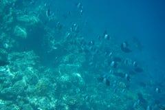 Brown-und-weißer Butterflyfish Hemitaurichthys-Zoster stockbild