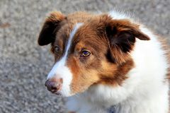 Brown und weißer Collieschäferhund Lizenzfreie Stockfotos