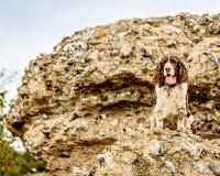 Brown und weißer englischer Springer-Spaniel-Hund Lizenzfreies Stockfoto