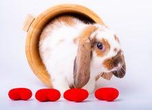 Brown und weißer Kaninchenaufenthalt in der hölzernen Schüssel und hinter Miniherzen für Valentinsgrußthema lizenzfreie stockfotos