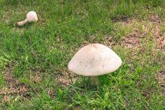 Brown und weißer Pilz in einer Mischung des Grüns und des getrockneten Grases Lizenzfreie Stockfotos