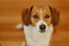 Brown und weißer Spürhundhund Lizenzfreies Stockfoto
