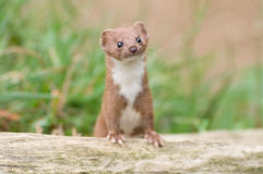 Brown und weißer Weasel Lizenzfreies Stockfoto