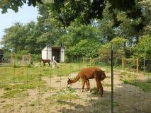 Brown und weißes Alpaka- und Grünesgras und Schmutz lizenzfreies stockfoto