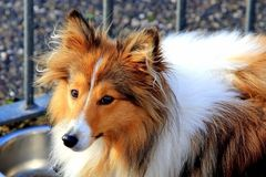 Brown und weißes die Shetlandinseln-Schäferhund sheltie Stockfotografie