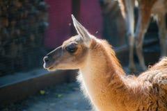 Brown und weißes Lama Schließen Sie herauf Fotografie eines braunen und weißen Lama ` s Kopfes Lama Glama Ein nettes Porträt eine lizenzfreies stockbild