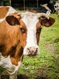 Brown Up i Biały krowy zakończenie Obrazy Stock