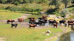 Brown, vacas blancos y negros en el río almacen de metraje de vídeo