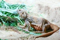 Brown varan on the sand. Royalty Free Stock Image