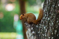 Brown variable-squirrel sitting Stock Images