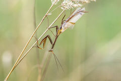 Brown variant of a Mantis religiosa - common name praying mantis. On a dry blade of grass Royalty Free Stock Photos