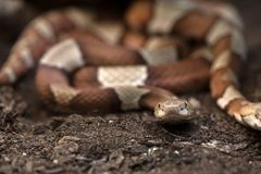 Brown venomous snake on the ground Royalty Free Stock Photos