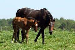 Brown-Verdammungspferd und -fohlen Stockbild