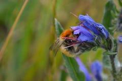 Brown versah Carder Bee auf der Bugloss-Blume einer Viper mit einem Band Lizenzfreie Stockbilder