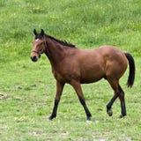 Brown-Viertelpferd lizenzfreies stockfoto
