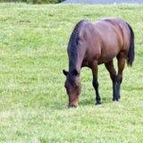 Brown-Viertelpferd stockfoto