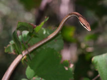 Brown Vine snake. (Oxybelis aeneus) among leaves in Palo Verde National Park (Parque Nacional Palo Verde), Costa Rica, Central America Royalty Free Stock Images