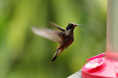 Brown Violetear, Colibri delphinae Royalty Free Stock Photo