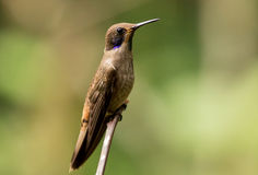 Brown Violetear(Colibri Delphinae Royalty Free Stock Image
