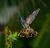 Brown Violetear 2. Suckling  hovering and displaying with wings and tail spread in Venezuela Royalty Free Stock Photography