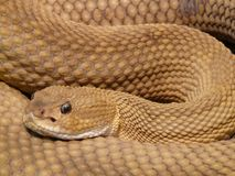 Brown Viper Snake Stock Images