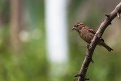 Brown-Vogel auf Niederlassung Lizenzfreie Stockfotos