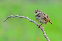 Brown-Vogel auf Niederlassung Lizenzfreies Stockbild