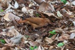Brown-Vogel, welche nach Insekten sucht Stockbild
