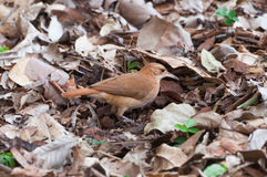 Brown-Vogel, welche nach Insekten sucht Stockfotografie