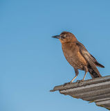 Brown-Vogelbeobachtung Lizenzfreies Stockfoto