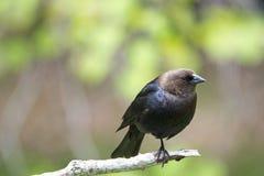 Brown-vorangegangener Cowbird Stockfoto