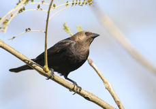Brown-vorangegangener Cowbird Stockbild